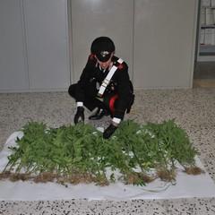 Due arresti a Salandra per coltivazione di marijuana