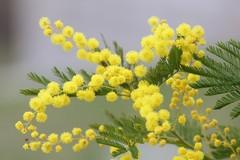 8 marzo: oltre alle mimose, c'è di più