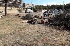 Pini tagliati nel parcheggio di Lanera