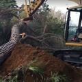 86 alberi da abbattere per una nuova rotonda nel quartiere Lanera di Matera: interviene Legambiente
