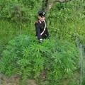 Salandra, arrestati due minorenni per coltivazione di marijuana