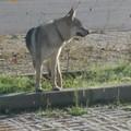 Un pastore tedesco smarrito ritrovato dalla Polizia