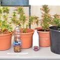 Piante marijuana scoperte nella gravina ad Agna Le Piane